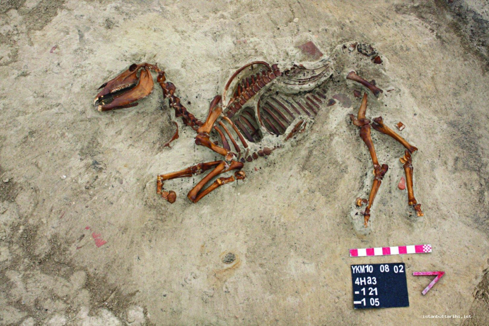 19- A horse skeleton found in the pier