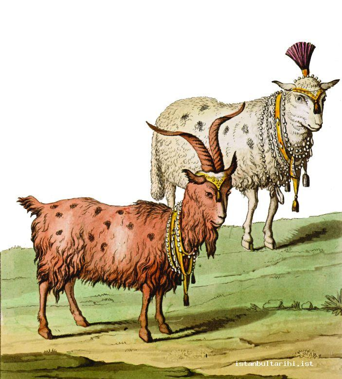 18- Goats and sheep adorned to be sacrificed (d'Ohsson)